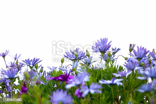 Purple flowers, Cape Daisies, white background with copy space, horizontal composition
