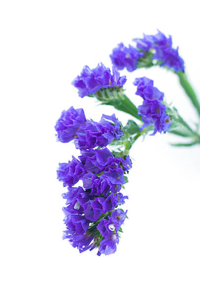 Royalty Free Purple Statice Flower Pictures Pictures Images And