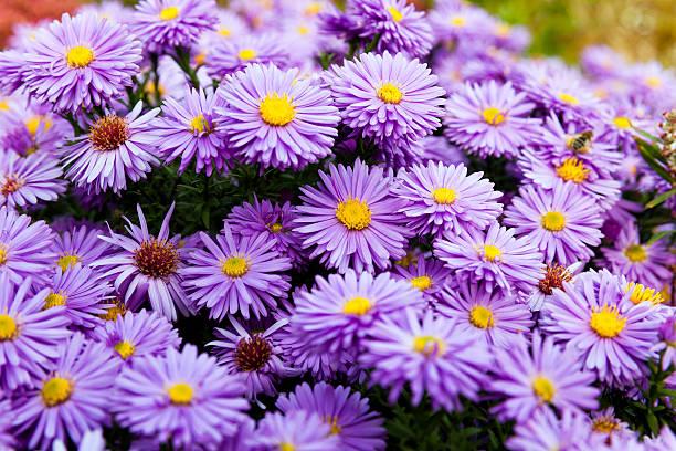Lila, Blumen, Nahaufnahme – Foto