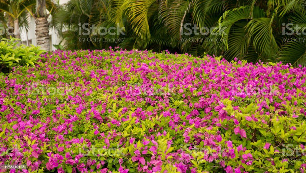 Purple flowers in Aruba stock photo