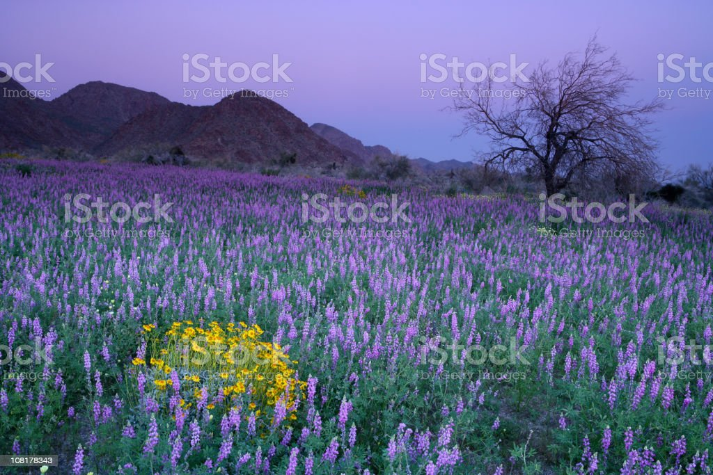Purple Flowers in Meadow at Sunset royalty-free stock photo