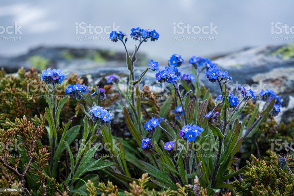 Purple flowers in Rila mountains stock photo