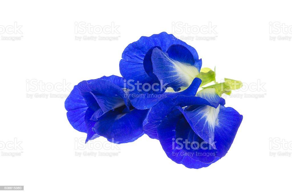 Purple flowers of Butterfly Pea. (Clitoria ternatea) Isolate on stock photo