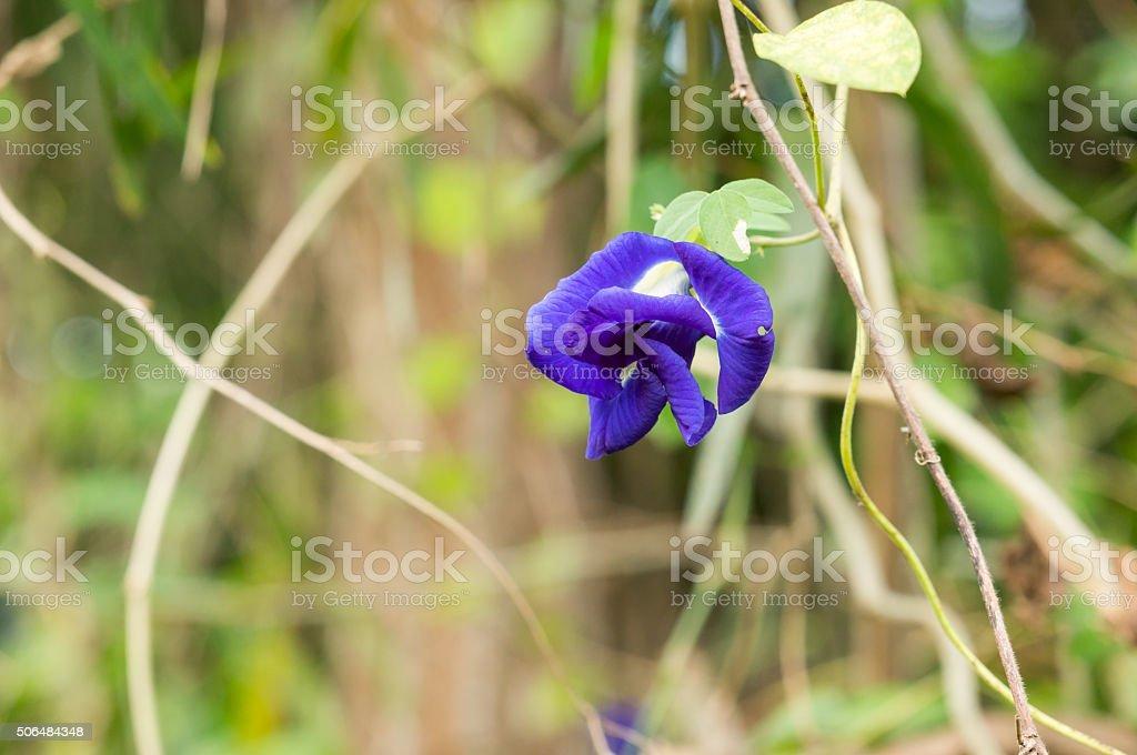 Purple flowers of Butterfly Pea. (Clitoria ternatea) stock photo