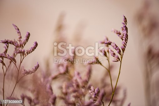 Purple Flowers of Limonium Gmelinii Plant on Blurred Background