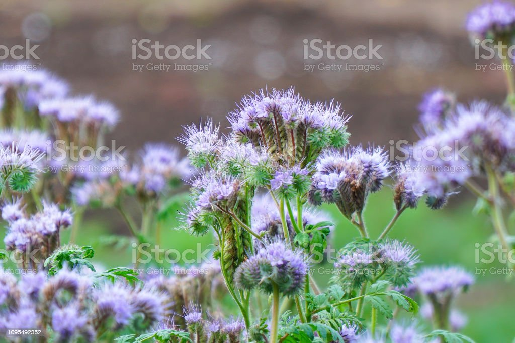 Purple flowers of Phacelia stock photo