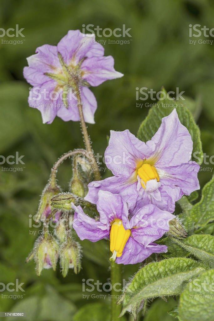 Purple flowers of potato royalty-free stock photo