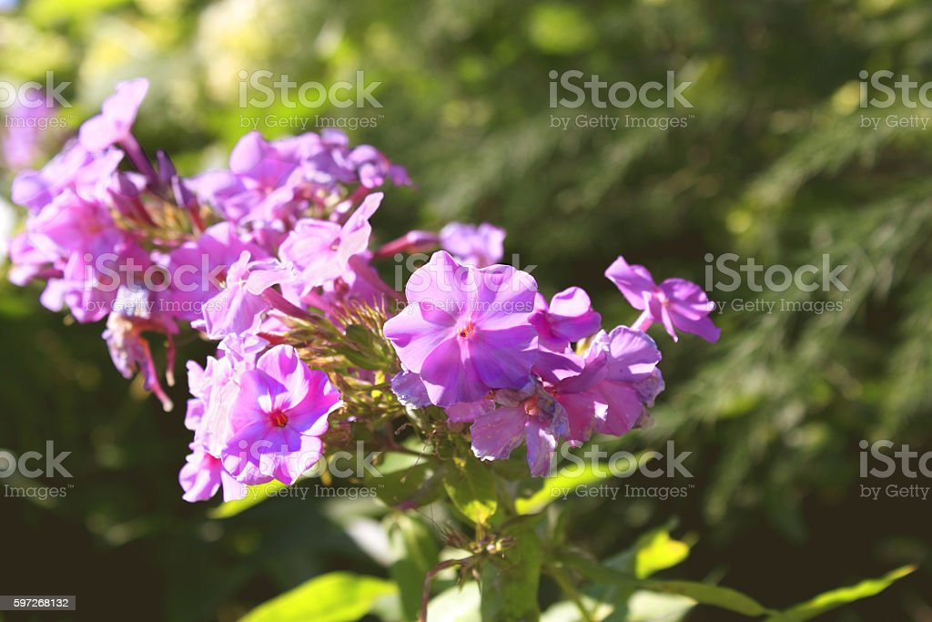 purple flowers on bright blurry background Lizenzfreies stock-foto