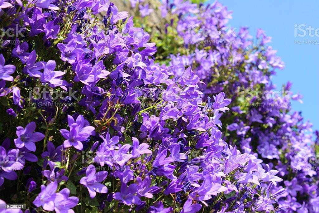 Fleurs violettes sur insidieux common campanule feuilles rondes photos et plus d 39 images de - Campanule a feuilles rondes ...