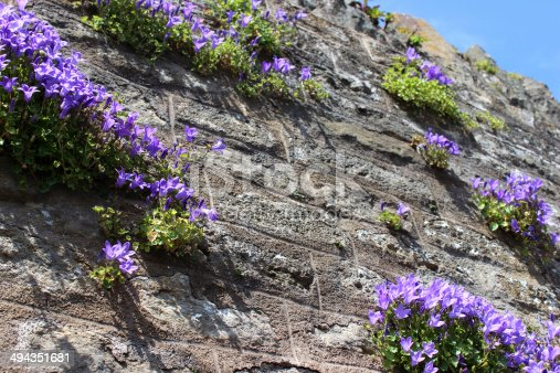Photo showing a mass of purple flowers on a common harebell, which is pictured growing on a stone wall, in a tiny pocket of soil, and is clearly thriving in this sunny, dry position.  Other names for this plant include Wall bellflower, Dalmatian bellflower and Adria bellflower, while the official Latin name is: Campanula portenschlagiana.