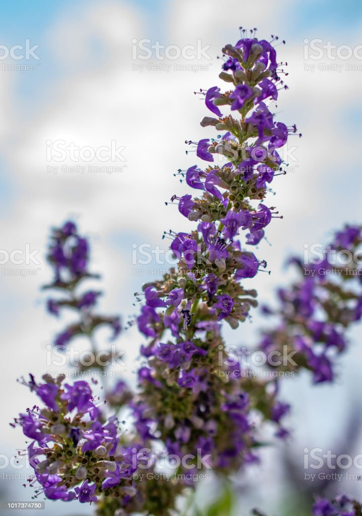 purple flowers on shrub with sky close shot detail stock photo