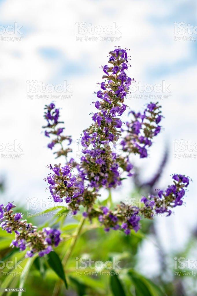 purple flowers on shrub with sky stock photo