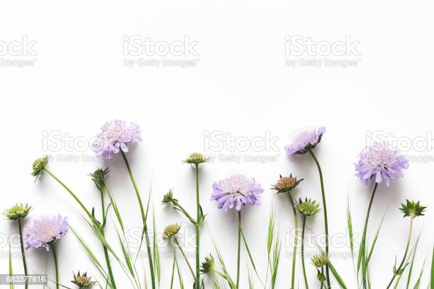 Purple flowers on white background picture id683377616?b=1&k=6&m=683377616&s=612x612&h=rsc9zt pbps5xqmeofgt82iah8qtpyid2sbzsgtbg0c=