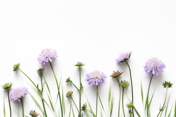 Royalty free flowers on white background pictures images and stock purple flowers on white background stock photo mightylinksfo