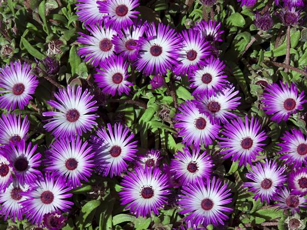 Flores roxas - foto de acervo