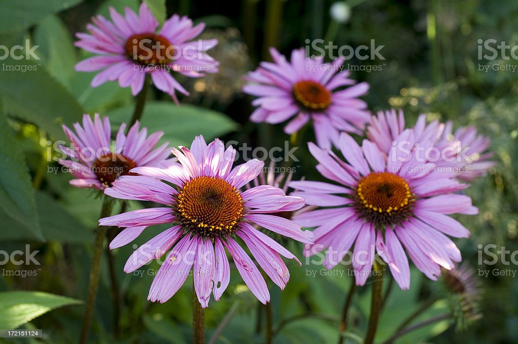 Purple flowers. royalty-free stock photo