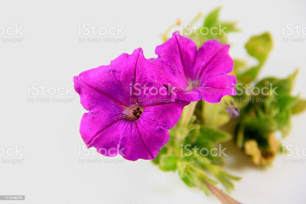 Fiori viola - foto stock