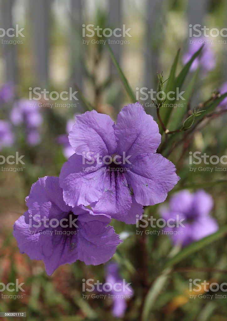 Фиолетовый цветы  Стоковые фото Стоковая фотография