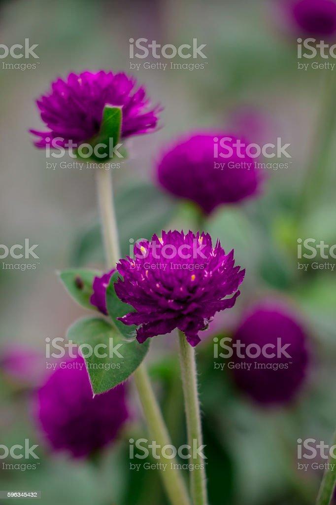 purple flowers royalty-free stock photo