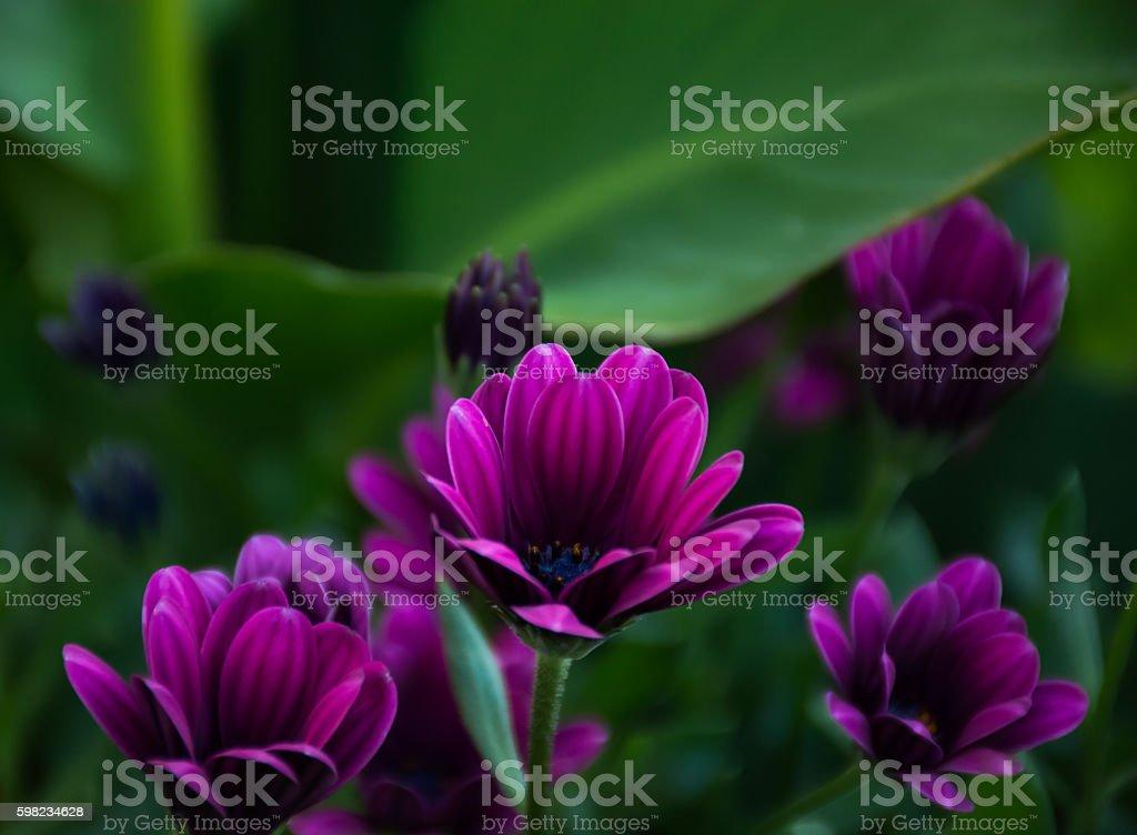 Flores roxas  foto royalty-free
