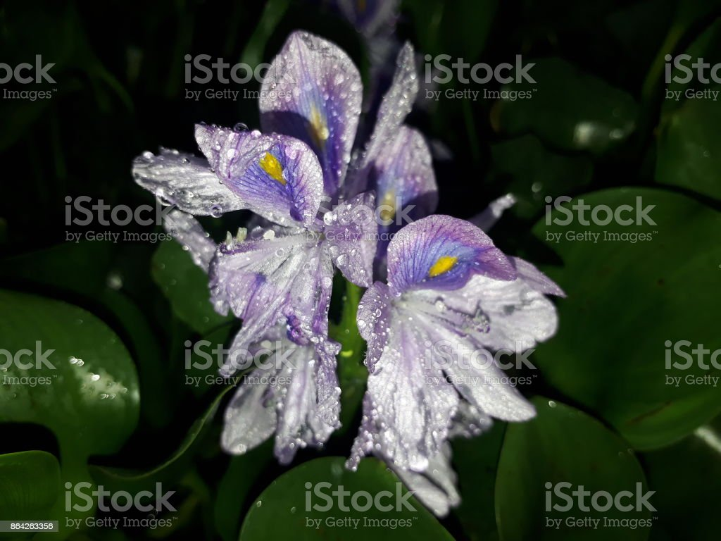 Purple flowers. royalty-free stock photo