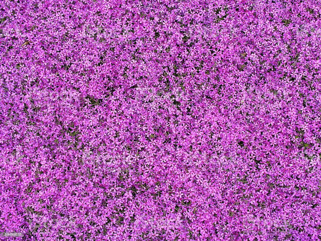 purple flowers royaltyfri bildbanksbilder