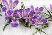 purple flowers snowdrops in the snow,  crocus flowers in the snow thaw