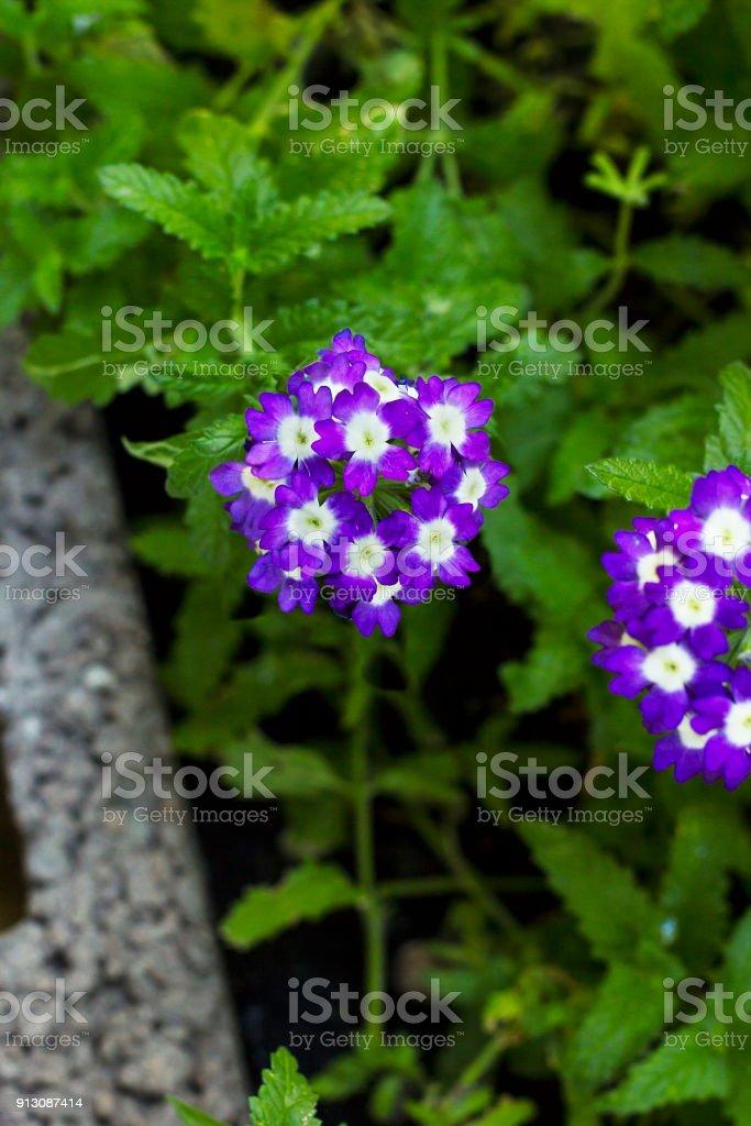 Fleurs Violettes Verveine En Vue Jardin Top – Photos et plus d ...