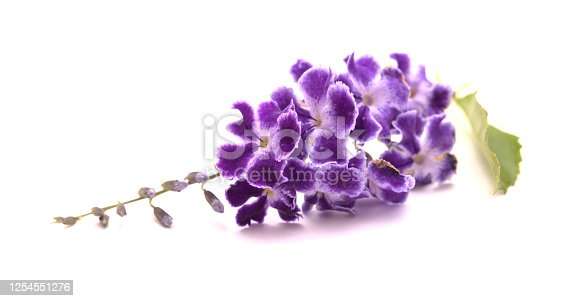 Purple flowers with white edges of Duranta erecta, pigeon berry