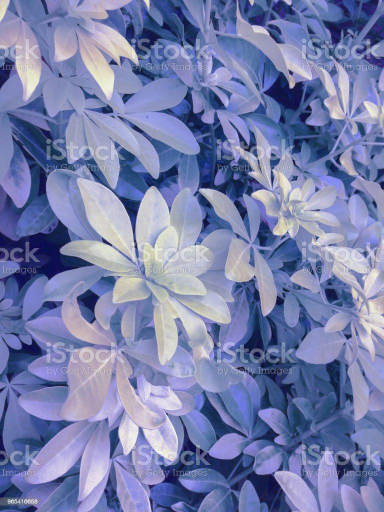 보라색 나뭇잎색 - 로열티 프리 0명 스톡 사진