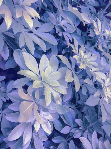 보라색 나뭇잎색 0명에 대한 스톡 사진 및 기타 이미지