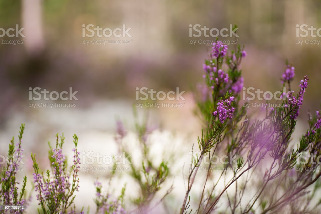 Purple forest blossoms stock photo