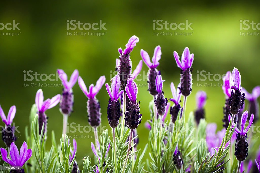 Purple french lavender flower heads abaginst green background, copy space royalty-free stock photo