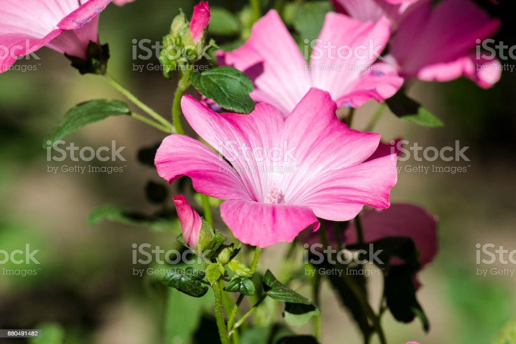 Purple funnel-shaped flowers of royal mallows (Lavatera) stock photo