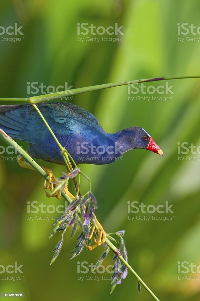 purple gallinule on fireflag branch stock photo