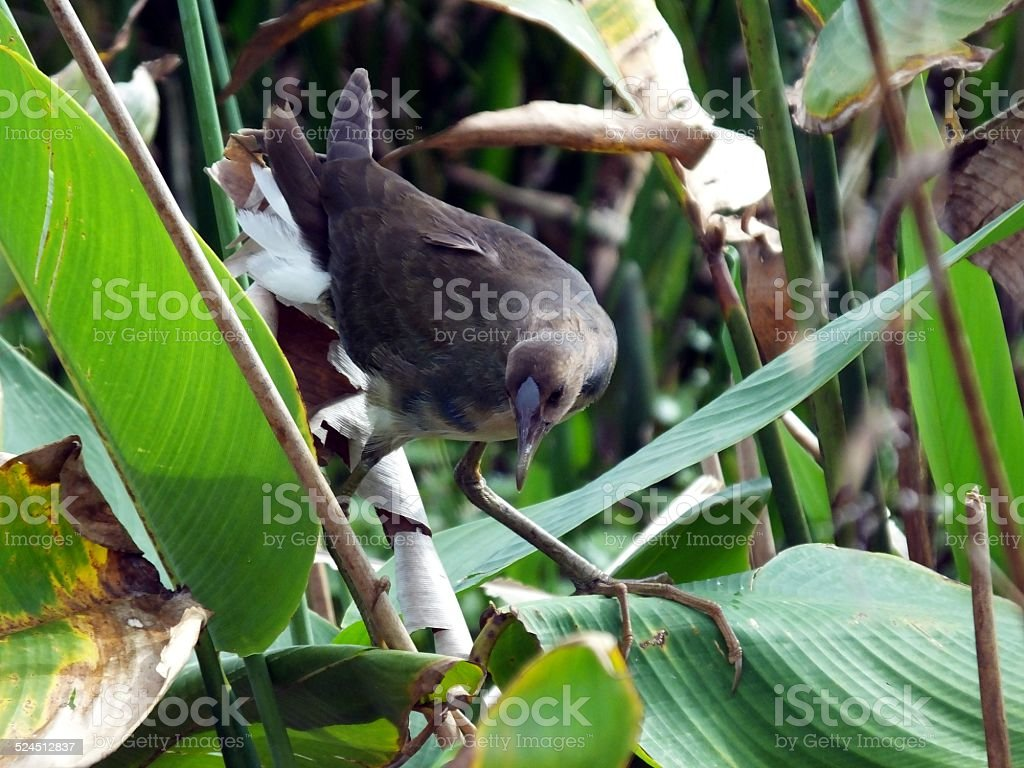 Purple Gallinule (Porphyrio martinica) stock photo