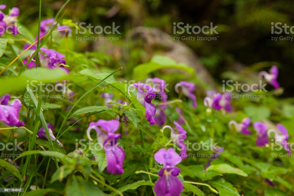 Purple garden balsam stock photo