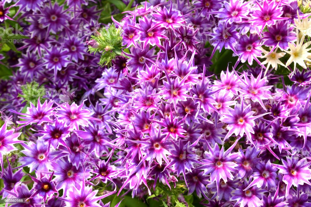 Purple Garden Bedding Flowers - Royalty-free Abstract Stock Photo