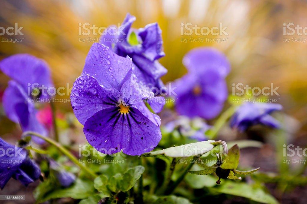Purple Garden Pansy stock photo