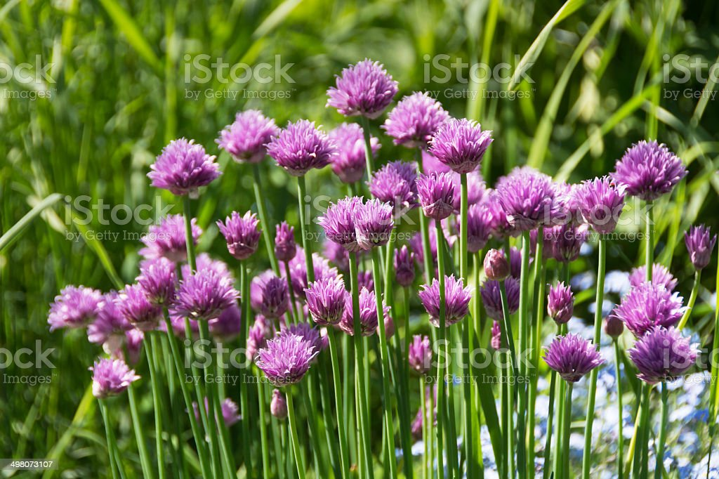 Purple garlic chives flowering in morning light. stock photo