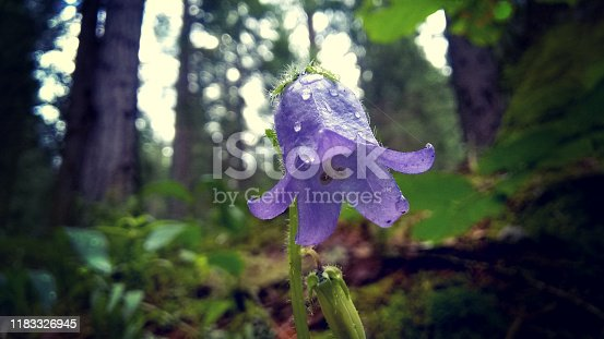 Purple gentian flower in the forest, magic delicate spring flower. Magical atmosphere, fairy wood