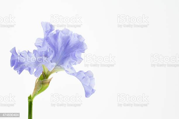 Purple german bearded iris picture id474530404?b=1&k=6&m=474530404&s=612x612&h=9hrhun7 tggttmznl40mz zson1pm1j8pwpfiqzdpi8=