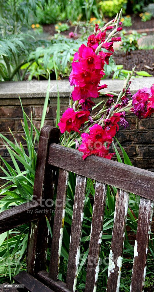 Purple Gladiolus Flower with bench2 royalty-free stock photo