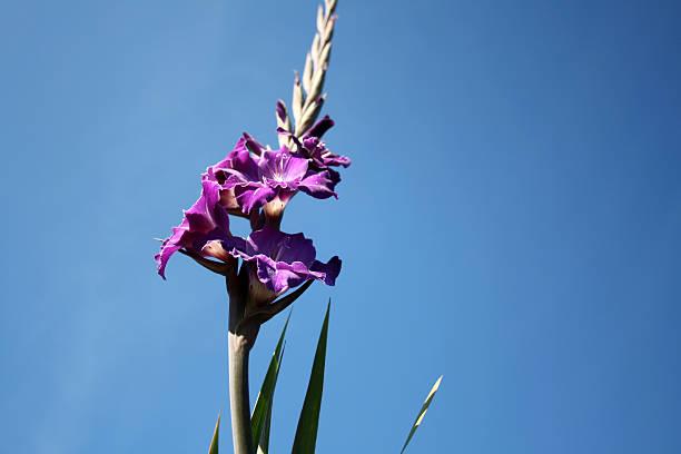 purple gladiole - lila waffe stock-fotos und bilder