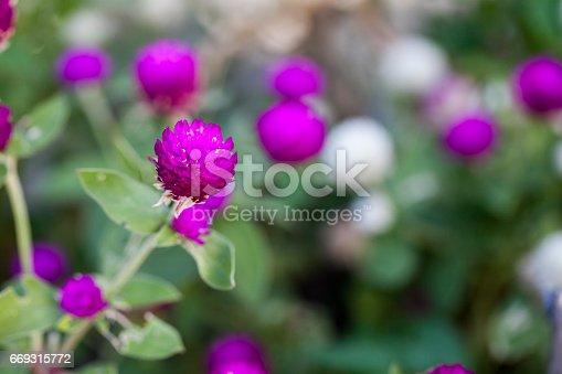Purple Globe amaranth (Gomphrena globosa) flowers