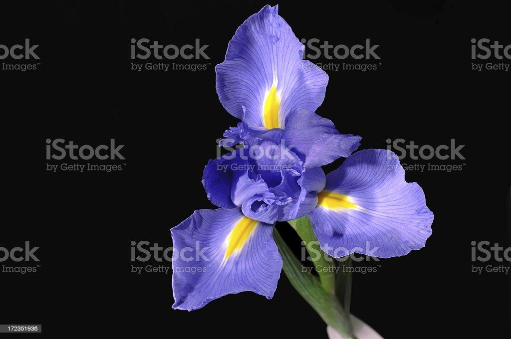 Gloria púrpura foto de stock libre de derechos