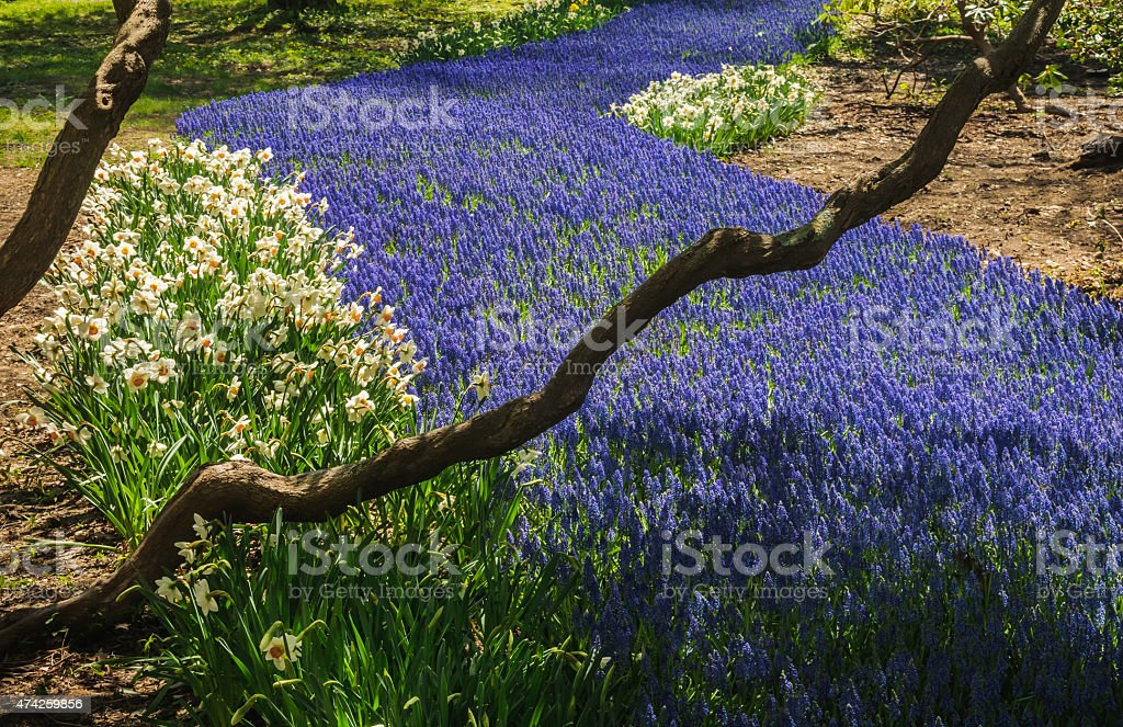 Purple Grape  Hyacinth stock photo
