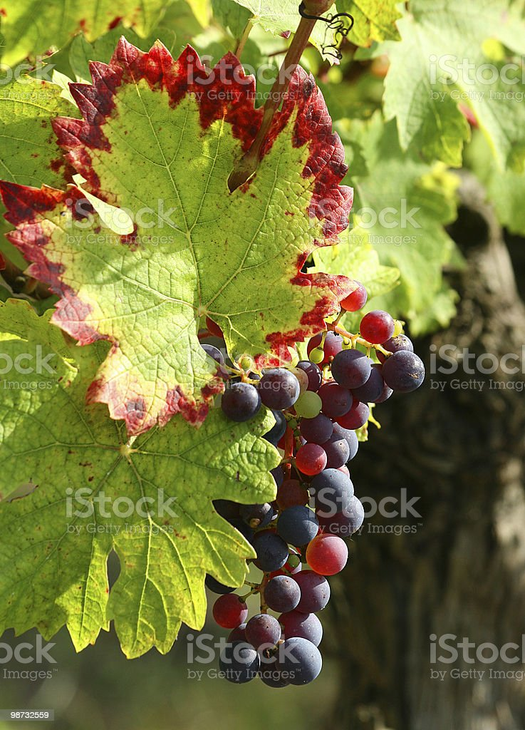 Purple grapes detail royalty free stockfoto
