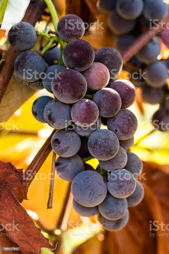Purple Grapes Growing on Vine in Wine Vineyard stock photo