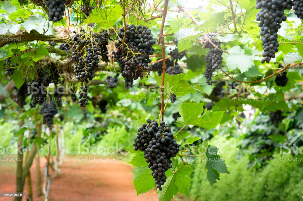 Purple Grapes on the vine in a greenhouse. stock photo